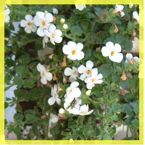 Bacopa complements alimentaire
