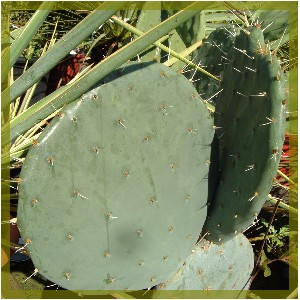 Nopal complements alimentaire