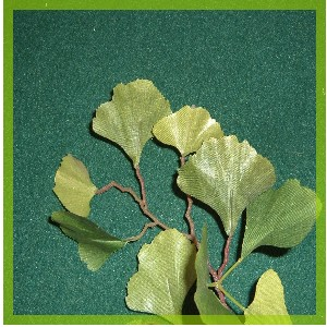 Feuille de Gingko complements alimentaire