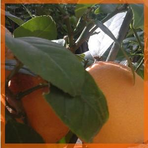 Orange huile essentielle bio