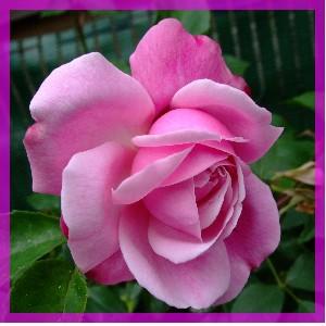 Rose huile essentielle bio